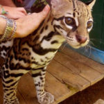 Margay rescued from tourist center