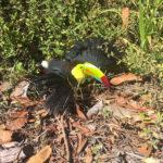 Toucan was rescued in Puntarenas
