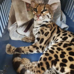Rescued margay might survive critical conditions