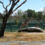 Maira was born! There are already 11 giraffes in Costa Rica